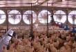 Tingkatkan Produksi Broiler Dengan Cara Modern