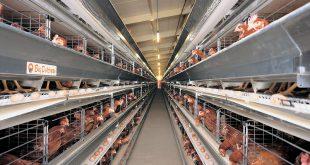 sistem kandang closed house untuk ayam petelur